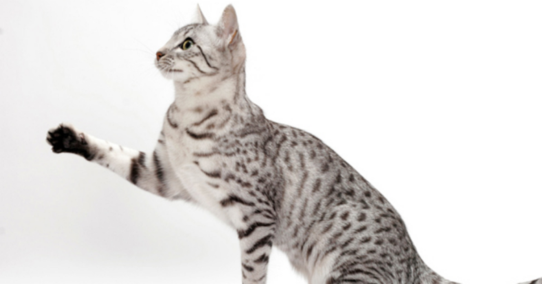 egyptianmau