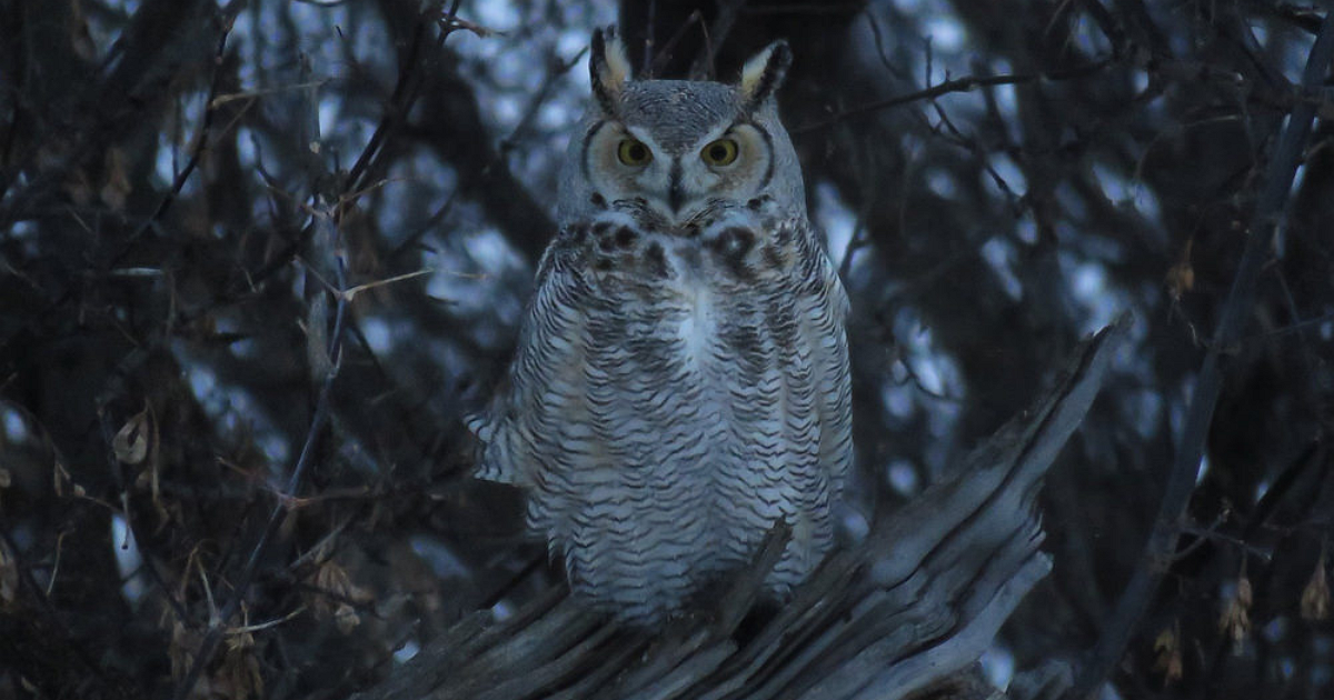 Great Horned Owl2.png