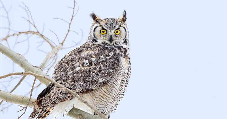 Horned Owl1.png