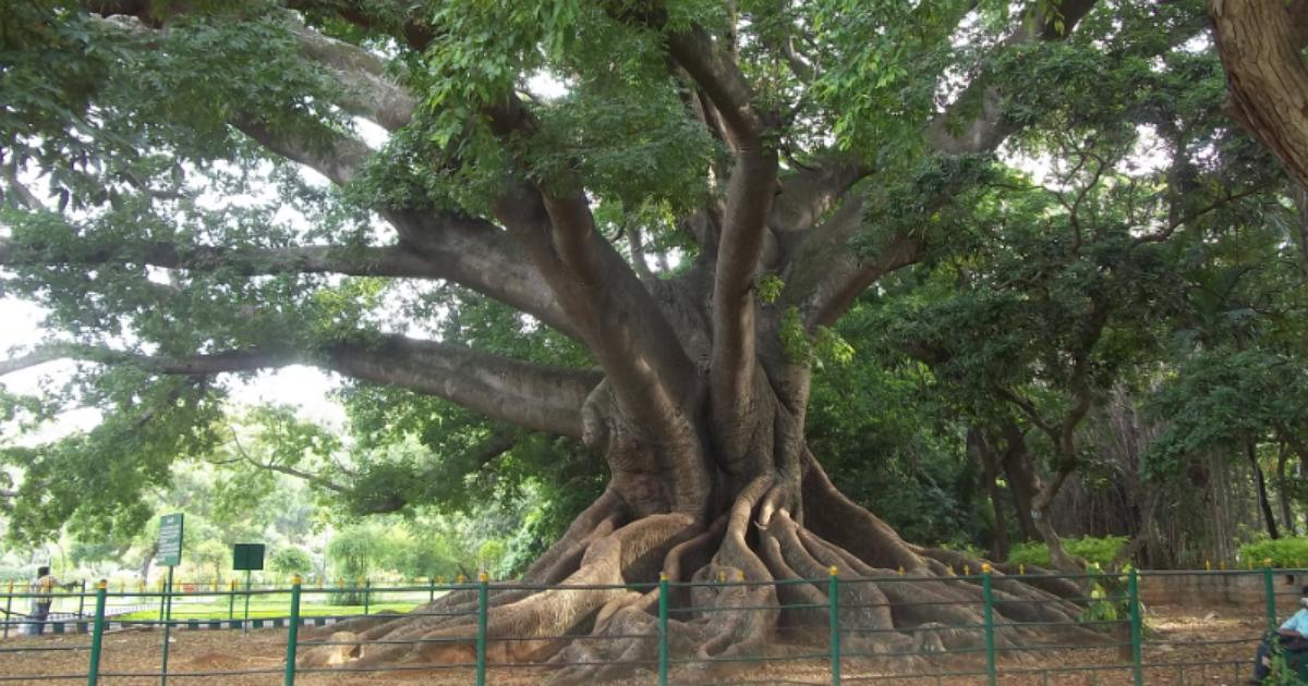 White Silk Cotton Tree.png