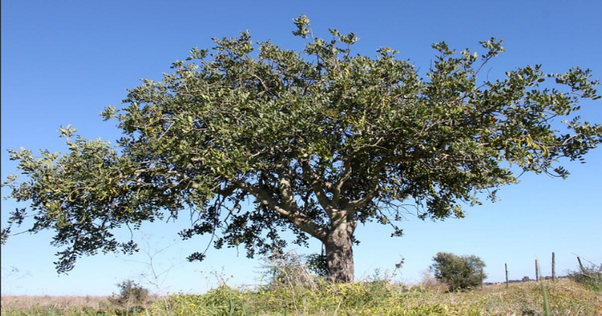 Carob Tree.png