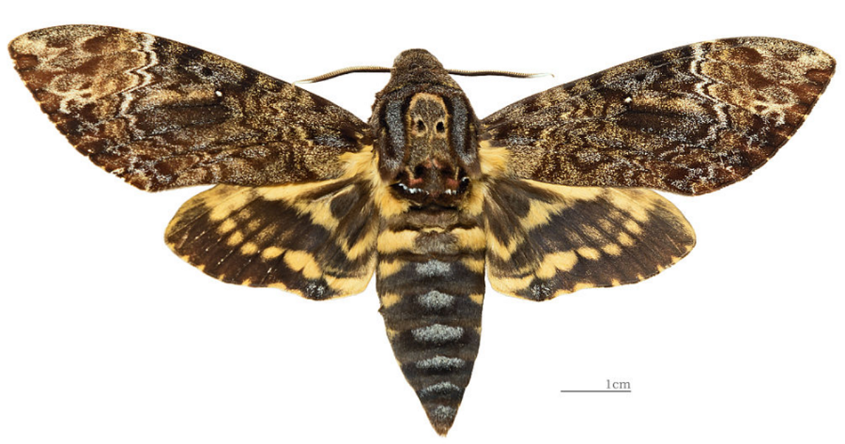 Deaths Head Moth
